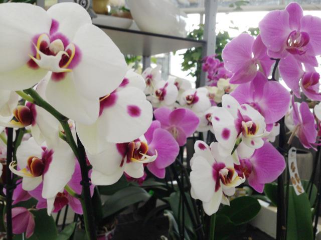 orchideen g rtnerei wenz. Black Bedroom Furniture Sets. Home Design Ideas